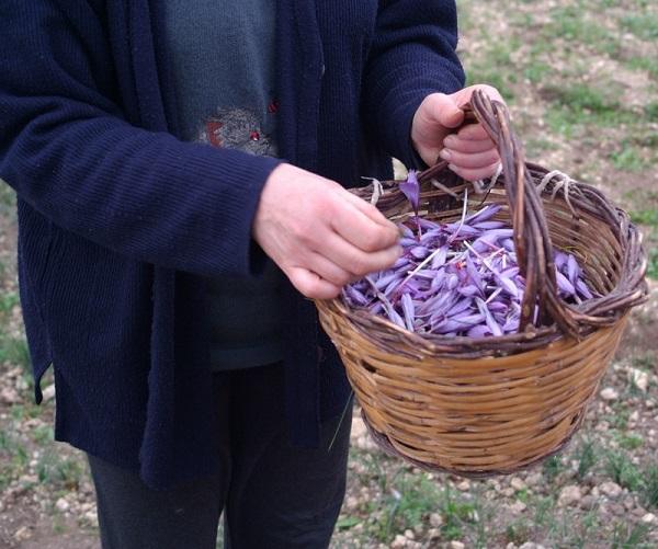 Come coltivare zafferano