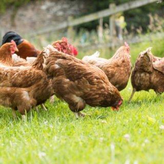allevamento di galline ovaiole