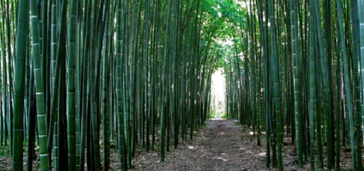 Coltivazioni bambù